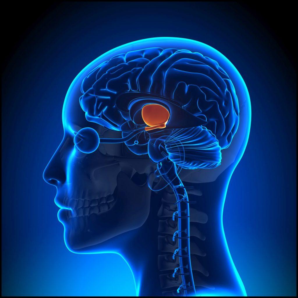 Dankbarkeit_dankbar-sein_Hypothalamus